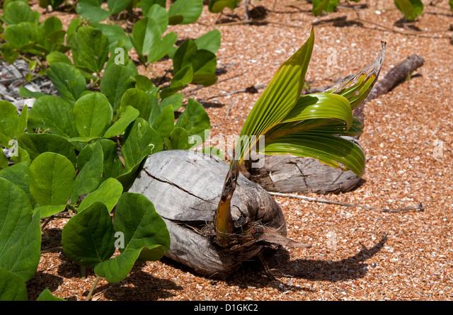 Coconut palm germinating on beach, Shell Beach, Guyana, South America - Stock Image