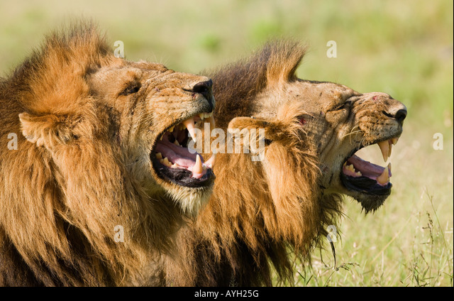 Male lions roaring, Greater Kruger National Park, South Africa - Stock Image