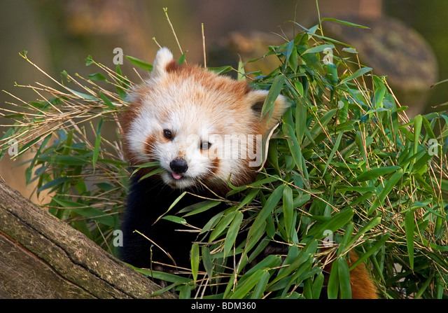 red panda in the zoo / Ailurus fulgens - Stock Image