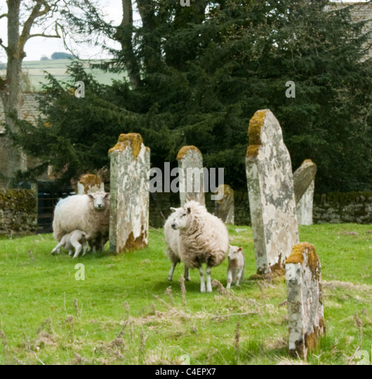 Sheep with lambs in a church graveyard - Stock Image