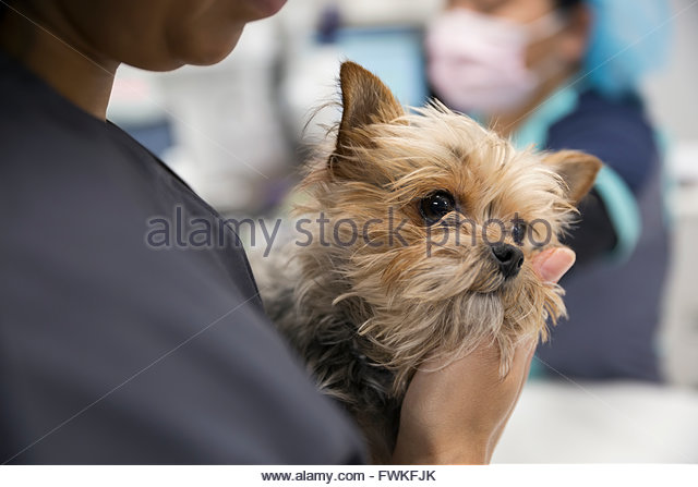 Close up of veterinarian holding timid dog clinic - Stock Image