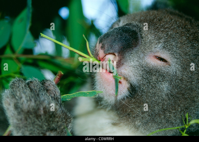 Koala eating Eucalyptus leaves Australia - Stock-Bilder