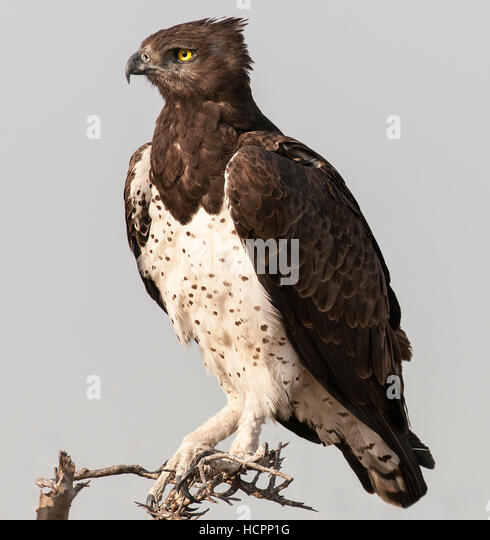 Martial's Eagle (Polemaetus bellicosus) perched   Nikon D300, Nikon 300 2.8 lens with 1.4 teleconverter, 1/1250, - Stock Image