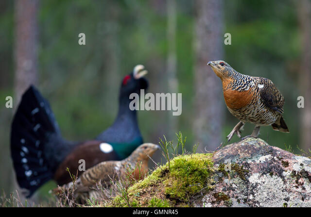 Western capercaillie (Tetrao urogallus) females and male displaying in coniferous forest in spring - Stock Image