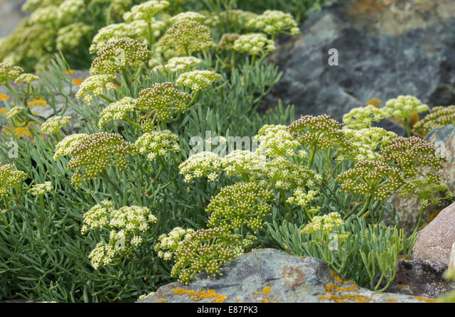 Rock sumpire (Crithmum maritimum) flowers on the Walsh coast UK Europe August - Stock Image