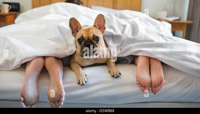 Dog laying under covers with couple - Stock-Bilder