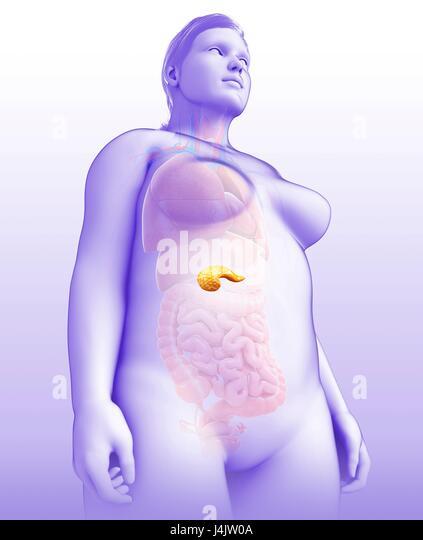 Illustration of female pancreas. - Stock-Bilder