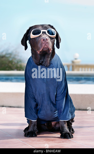 Labrador in Googles and Sun Protective TShirt - Stock Image