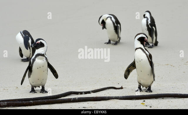 African penguin (spheniscus demersus) at the Beach. South Africa - Stock Image