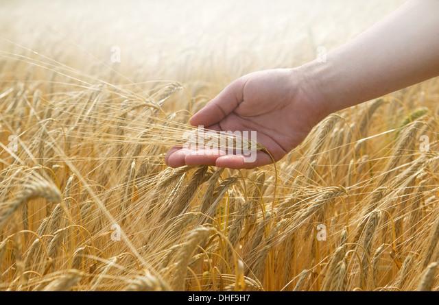 Hand touching wheat - Stock Image