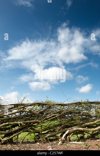Traditional laid hedgerow in the English countryside - Stock Image