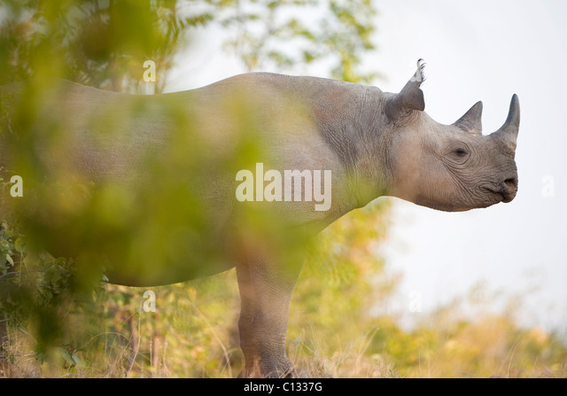 Rhinoceros portrait, Rhino Island, Lake Kariba, Mutasadona National Park, Zimbabwe - Stock Image