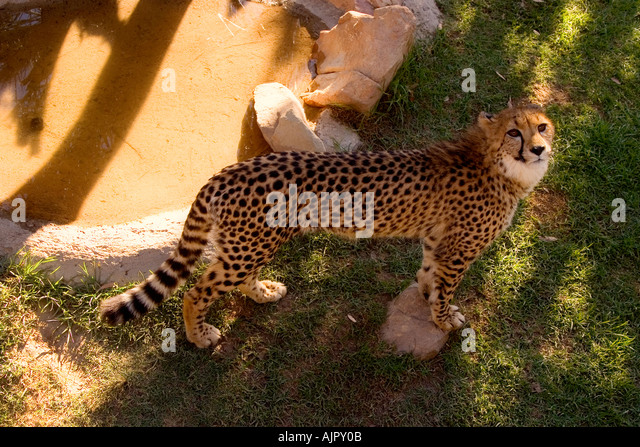 south africa outdshoorn game park cheetah - Stock Image