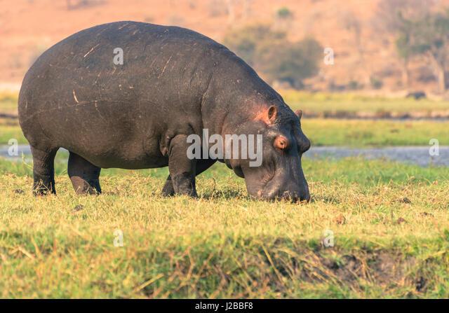 Botswana. Chobe National Park. Hippo (Hippopotamus amphibius) grazing near the Chobe river. - Stock-Bilder