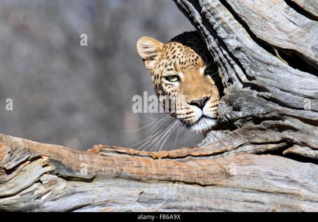 Leopard (Panthera pardus) [CAPTIVE] - Africat Sanctuary - Okonjima, Namibia, Africa - Stock Image