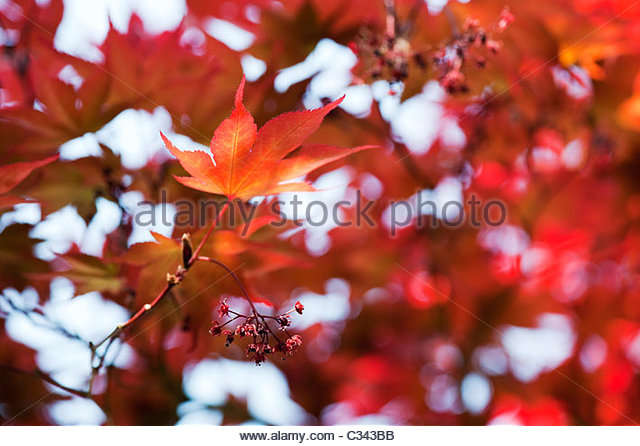 Acer Palmatum, Atropurpureum. Japanese maple leaves and flowers - Stock Image