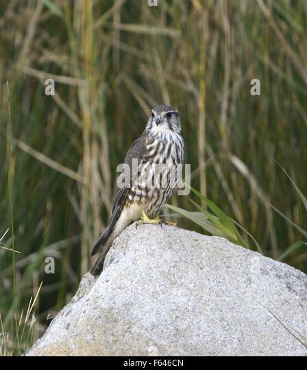 Merlin - Falco columbarius - juvenile. - Stock Image