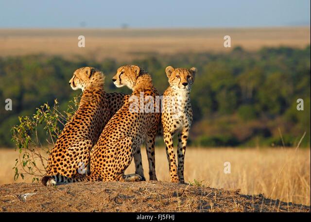 cheetah (Acinonyx jubatus), three cheetahs look out, Kenya, Masai Mara National Park - Stock Image