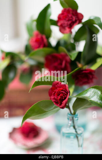 Cut blossoms of red camellia in blue jars with vintage books in front of a window - Stock Image