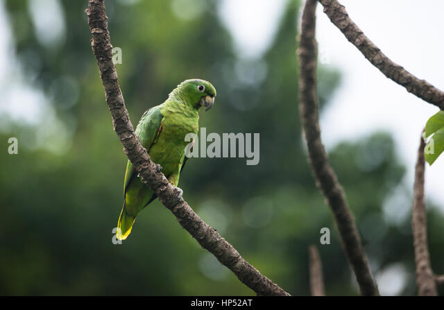 A Mealy Parrot from the island of Ilhabela, Brazil - Stock Image