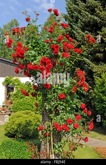 climbing rose, pink sympathy, blooming a second time, dark red blossoming from the early summer till late autumn, - Stock Image