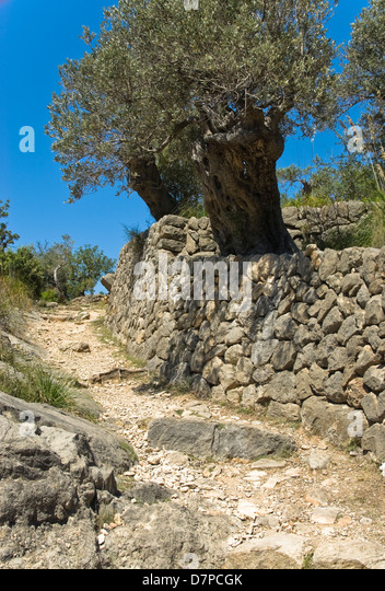 Olivenbaeume stock photos olivenbaeume stock images alamy for Camino da muro