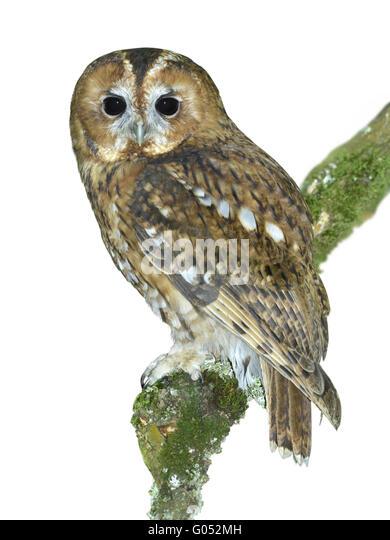 Tawny Owl - Strix aluco - Stock Image