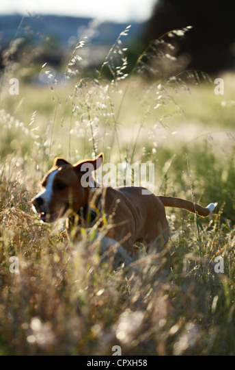 Dog enjoys time in a field, at sunset - Stock Image