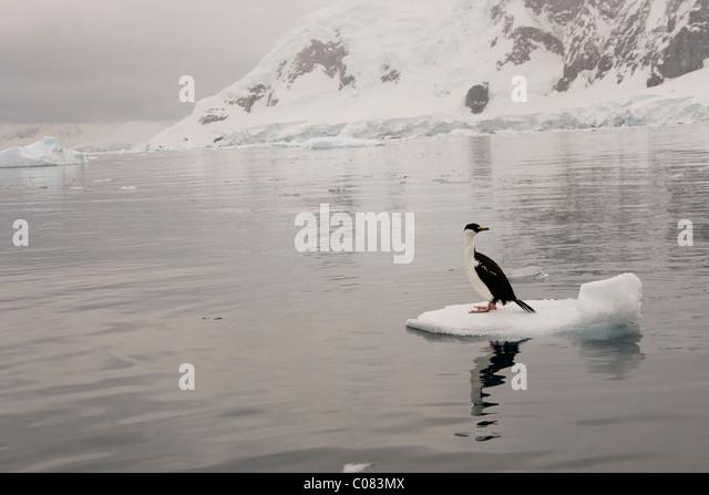 Adult Antarctic Shag sitting on ice flow, Brown's Bluff, Antarctic Peninsula. - Stock Image