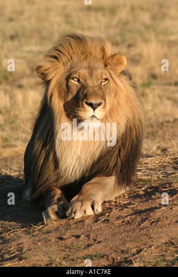 Male Lion Etosha Namibia Africa - Stock Image