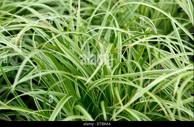 Variegated japanese stock photos variegated japanese for Variegated grass plant