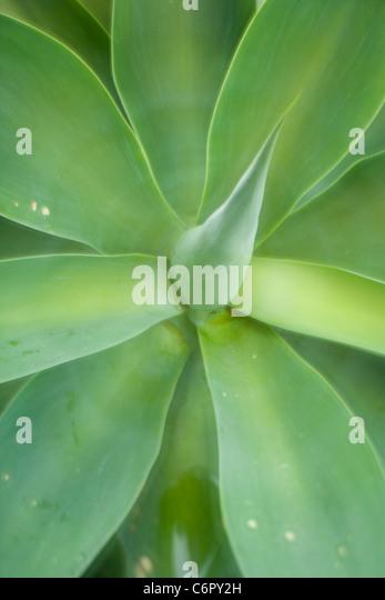 agave leaf pattern, Lensbaby Plastic Optic Optic - Stock Image