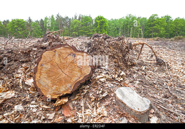 Tree stumps on felled forest, deforestation process. - Stock Image