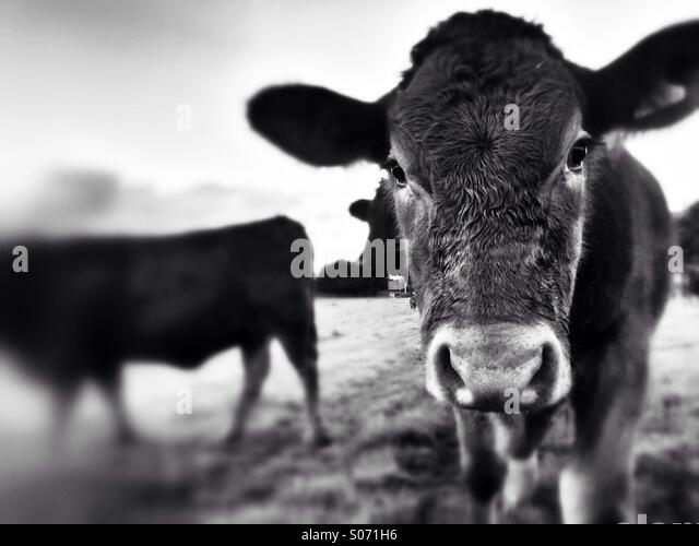 Young cow looking camera - Stock Image