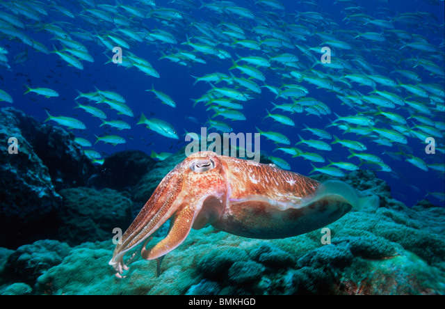 Broadclub cuttlefish at rest with a school of Fusiliers in background, Indonesia. - Stock-Bilder