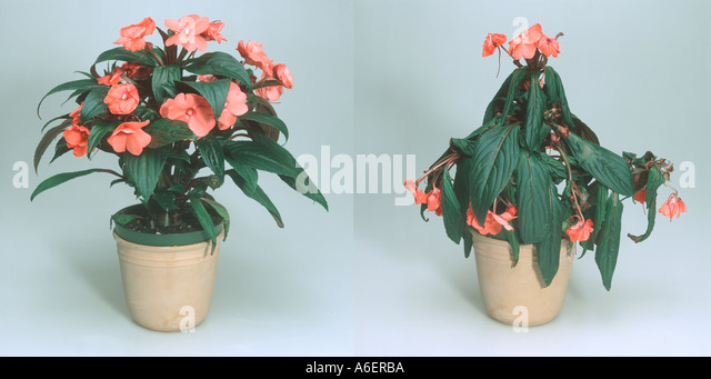 Flaccid stock photos flaccid stock images alamy - Seven tricks for healthier potted plants ...