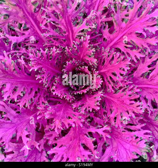 Close up of an ornamental coral maroon lettuce - Stock-Bilder