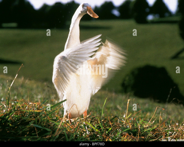 FERDINAND THE DUCK BABE (1995) - Stock Image