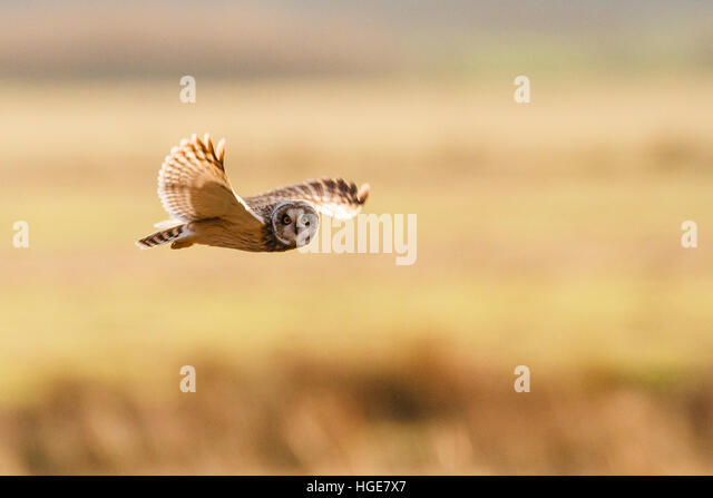 Pevensey Levels, UK. 8th January 2017. UK Weather: A Short eared owl (Asio flammeus) hunts over the Pevensey Levels - Stock Image