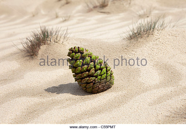 The Netherlands, Loon op Zand, National Park De Loonse en Drunense Duinen. Fir cone in sand. - Stock-Bilder
