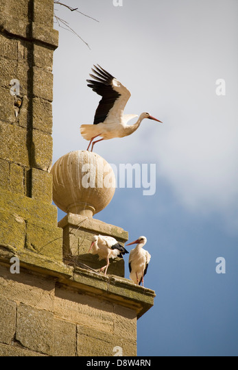 Three European White Stork (Ciconia ciconia) on a convent bell tower, with one just taking off, Spain - Stock Image