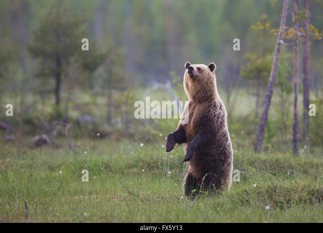 Brown bear, Ursus arctos, standing up on his back legs or back paws and sniffing in the air, Kuhmo, Finland - Stock-Bilder