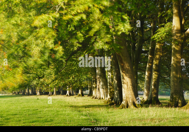 Row of Trees blowing in the wind. Cricket St Thomas. Somerset. England. UK. - Stock Image
