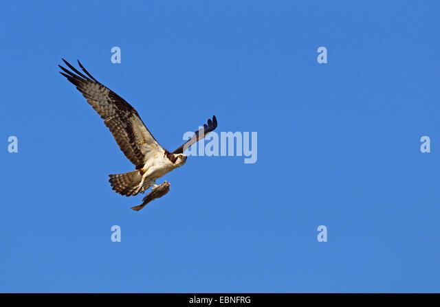 Adult osprey pandion haliaetus stock photos adult osprey for Fish hawk fl