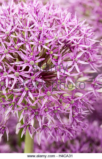 Allium 'Jackpot' - Stock Image