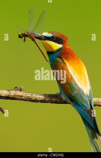 European bee-eater(Merops apiaster) with a dragonfly in its beak.Hungry - Stock Image