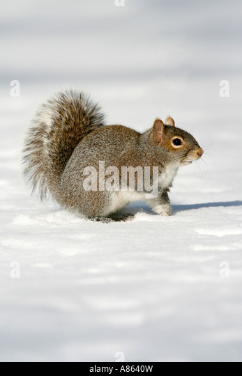 Gray Squirrel in Snow Vertical - Stock Image