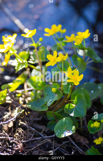 Kabbeleka that grows at a watercourse. - Stock Image