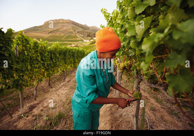 Woman in vineyard picking grape. Picker harvesting grapes on the vine. - Stock Image