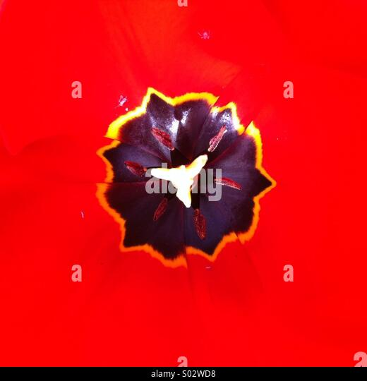Black uneven shape on strong red background Tulip flower close up - Stock-Bilder